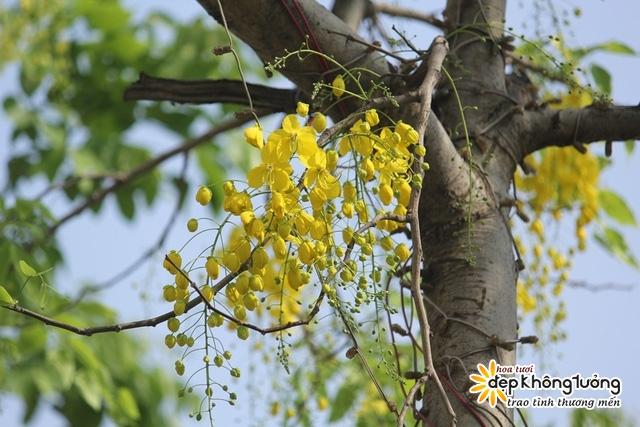 hoa hoang yen