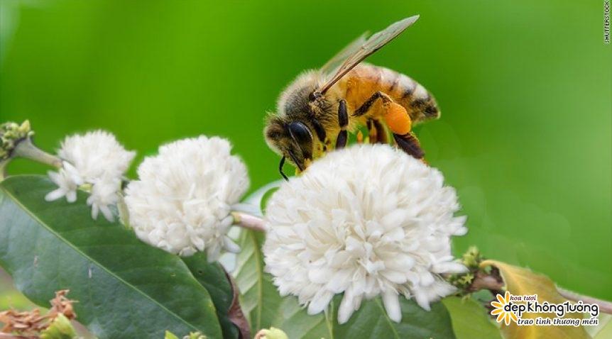 dac sac mat ong hoa ca phe xuat xu dak lak